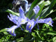 08Iris-planifolia-andaluzia